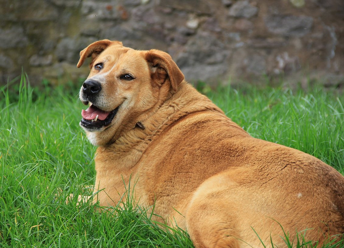 5 Simple Ways to Improve an Obese Dog's Weight